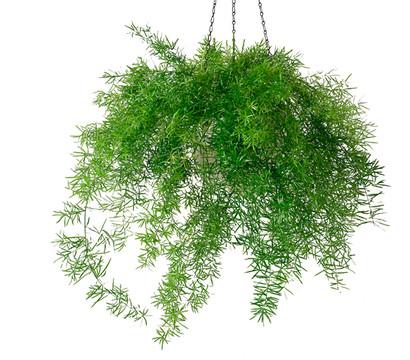 Asparagus pflanze