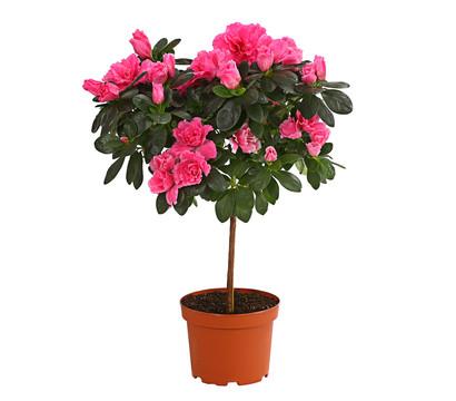 zimmer azalee rhododendron st mmchen dehner garten center. Black Bedroom Furniture Sets. Home Design Ideas