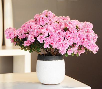 zimmer azalee wei rosa gerandet 25 35 cm dehner. Black Bedroom Furniture Sets. Home Design Ideas