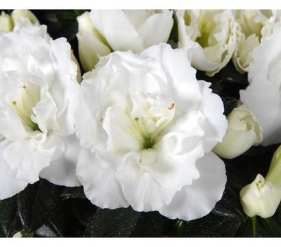 pflege rhododendron rhododendren azaleen tipps pflege. Black Bedroom Furniture Sets. Home Design Ideas