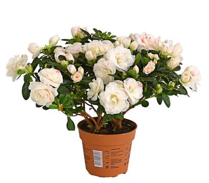 zimmerazalee rhododendron 39 rosalea 39 wei dehner. Black Bedroom Furniture Sets. Home Design Ideas