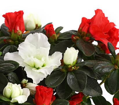zimmerazalee rhododendron 39 twin 39 wei rot dehner. Black Bedroom Furniture Sets. Home Design Ideas