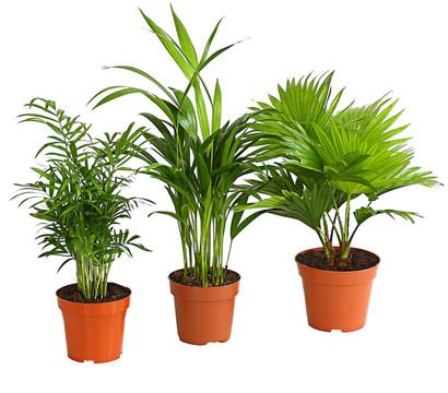 bilder von zimmerpalmen zimmerpalmen palmen bolschetz der palmen profi zwergdattelpalme. Black Bedroom Furniture Sets. Home Design Ideas