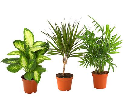 zimmerpflanzen trio bergpalme drachenbaum dieffenbachie. Black Bedroom Furniture Sets. Home Design Ideas