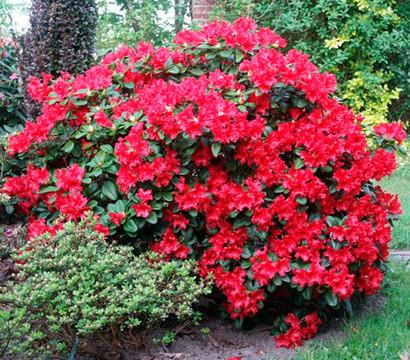 zwerg alpenrose 39 scarlet wonder 39 zwerg rhododendron. Black Bedroom Furniture Sets. Home Design Ideas