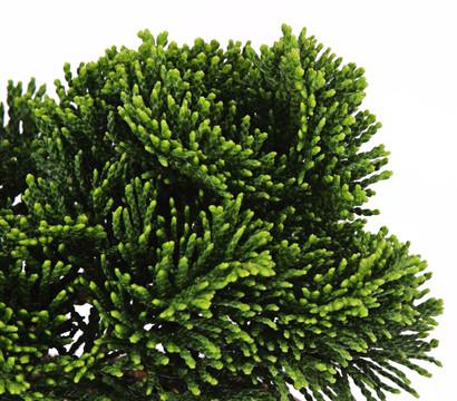 zwerg muschelzypresse 39 nana gracilis 39 dehner garten center