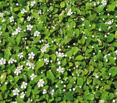 Zwergmispel 39 frieders evergreen 39 dehner garten center for Evergreen pflanzen