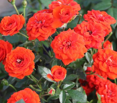 Zwergrose 'Orange Babyflor®'