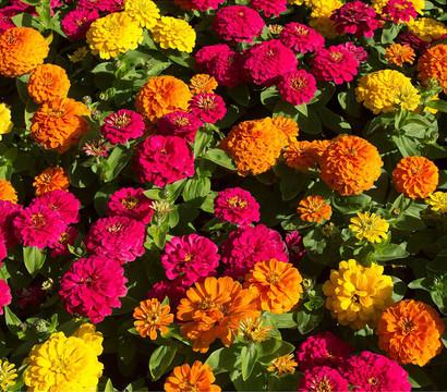 Zwergzinnie dehner garten center for Halbschattige balkonpflanzen