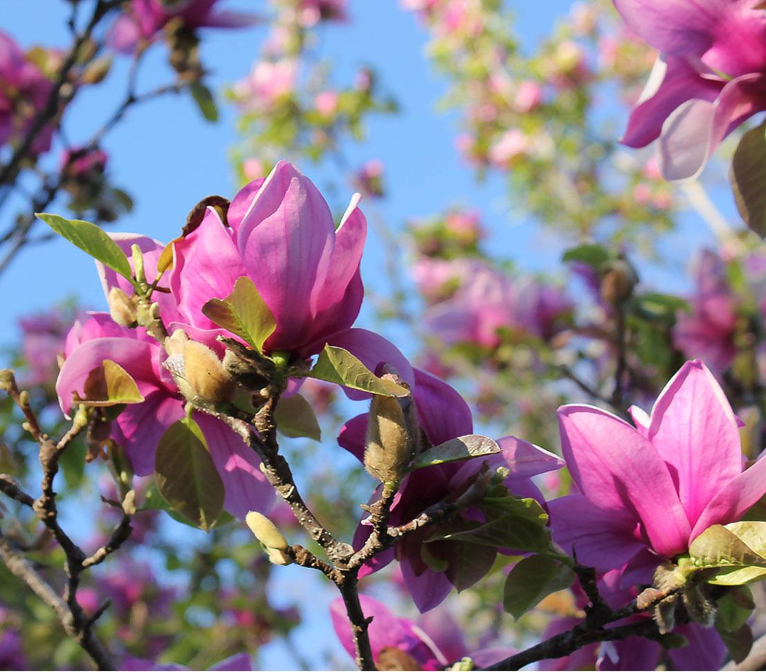 Dehner Ziergehölz Tulpen-Magnolie /'Genie/' versch purpurfarbene Blüten Größen