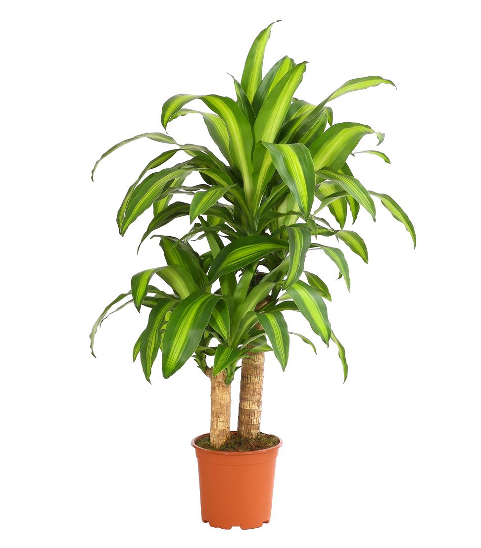 Dehner zimmerpflanze drachenbaum massangeana ein for Drachenbaum zimmerpflanze