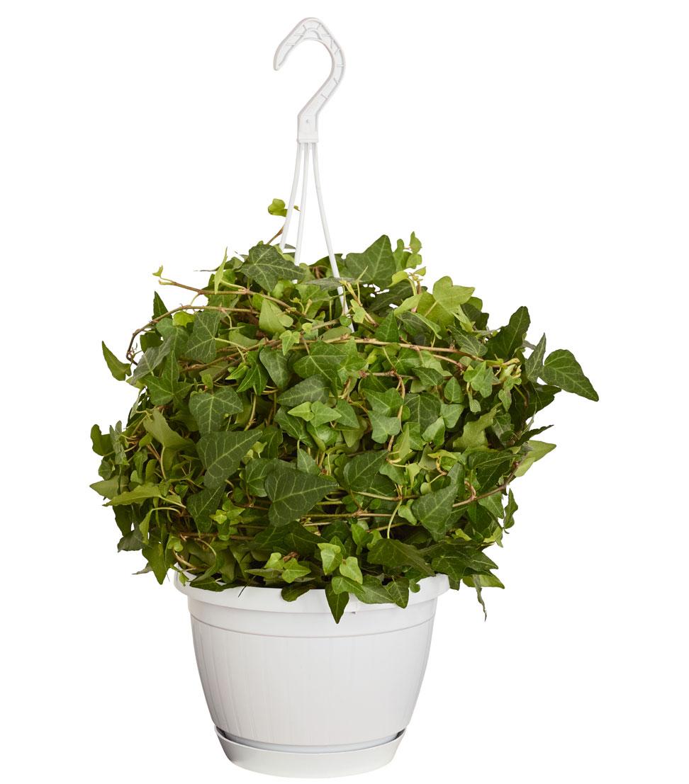 zimmerpflanze efeu in h ngeampel mit langarmigen zweigen topf 17 cm dehner ebay