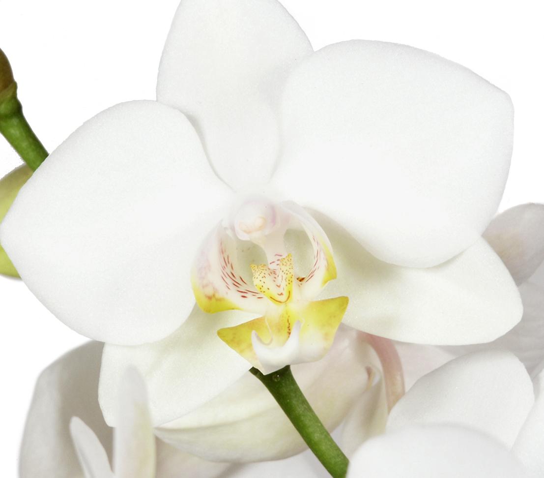 Orchidee Zimmerpflanze Schmetterlingsorchidee ca Farben Dehne 50-70 cm versch
