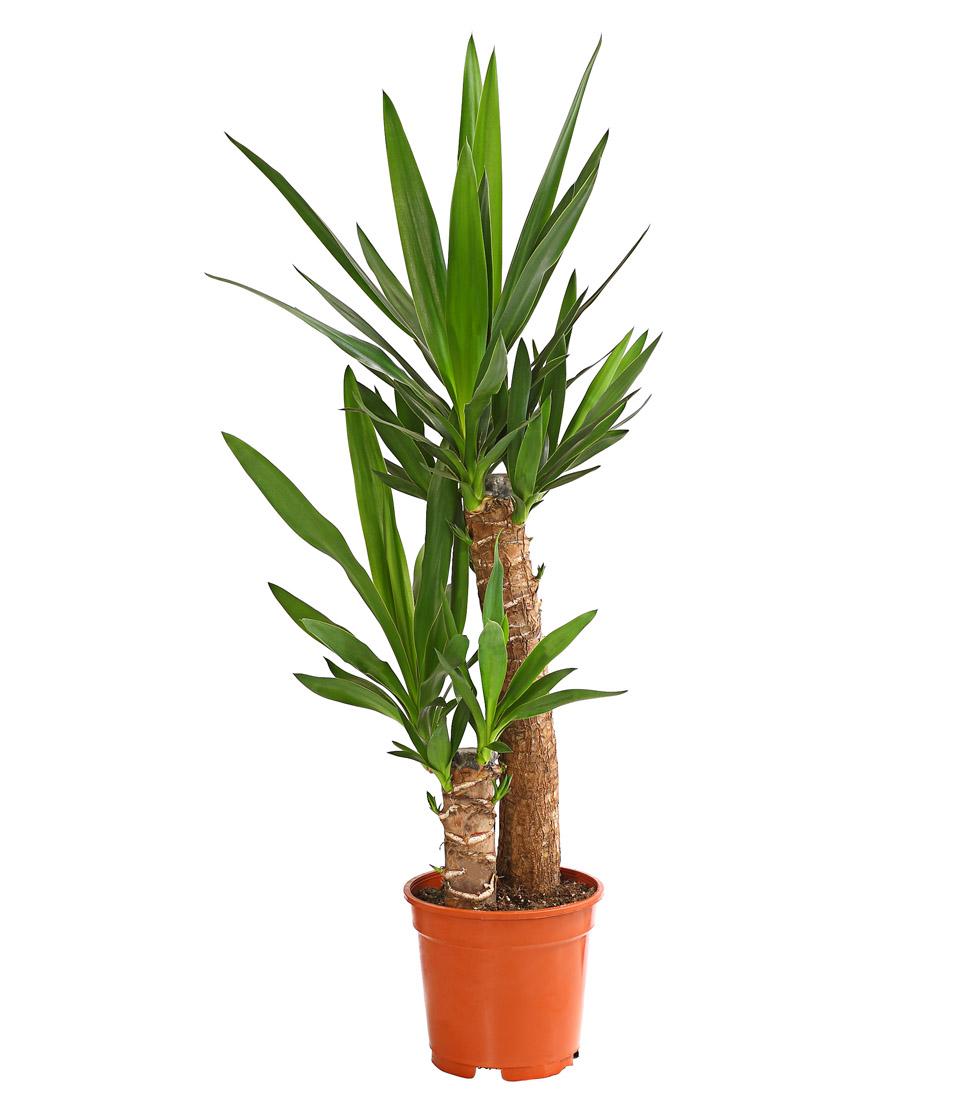 Dehner Zimmerpflanze Yucca-Palme Palmlilie, mehrtriebig, versch ...
