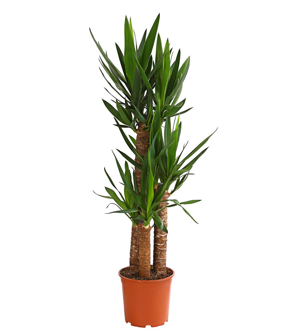 dehner zimmerpflanze yucca palme palmlilie mehrtriebig. Black Bedroom Furniture Sets. Home Design Ideas