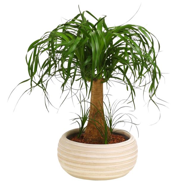 Dehner zimmerpflanze elefantenfu einst mmig im keramik bertopf ca 40 50 cm ebay - Zimmerpflanze robust pflegeleicht ...