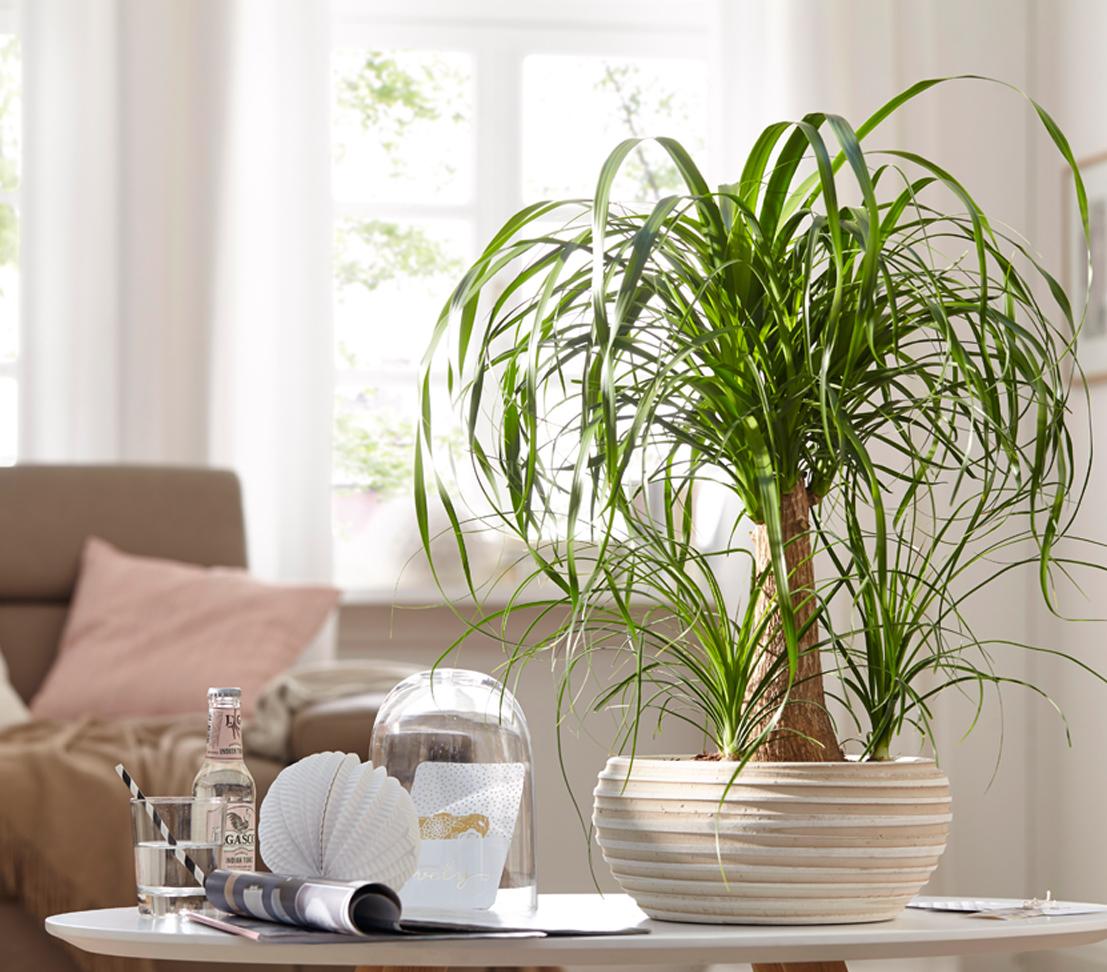 Dehner zimmerpflanze elefantenfu einst mmig im keramik bertopf ca 40 50 cm ebay - Zimmerpflanze sonnig ...