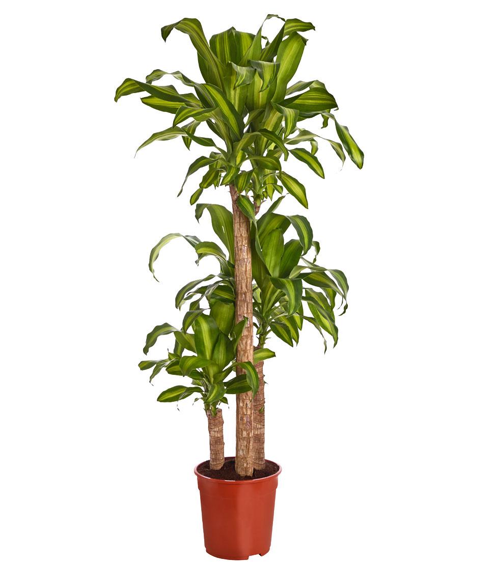Zimmerpflanze drachenbaum massangeana ein mehrtriebig for Drachenbaum zimmerpflanze