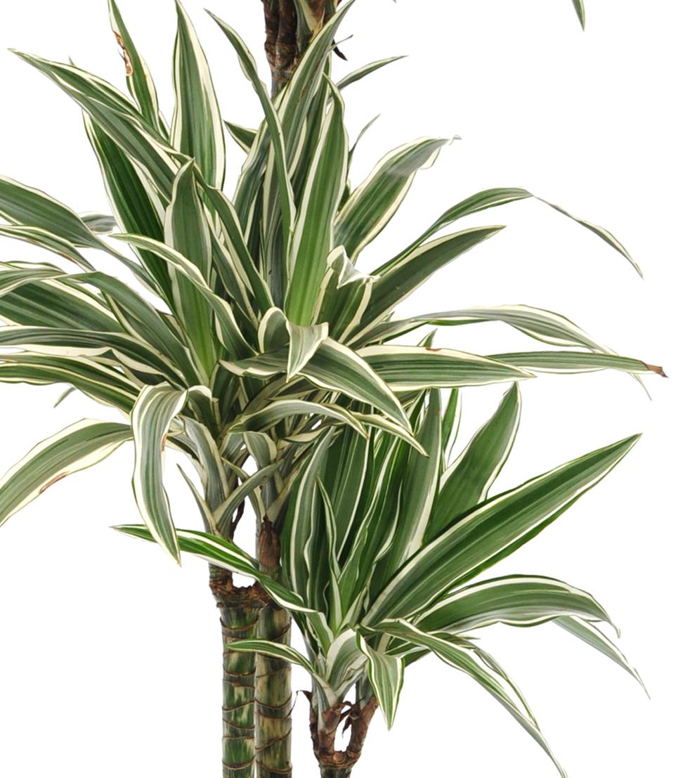 Zimmerpflanze drachenbaum white stripe mehrtriebig for Drachenbaum zimmerpflanze