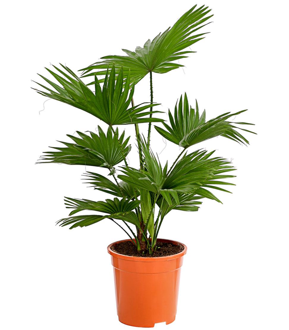 Details zu Zimmerpflanze Palme Rundblättrige Schirmpalme 60/75 cm Ø Topf  17/19 cm, Dehner
