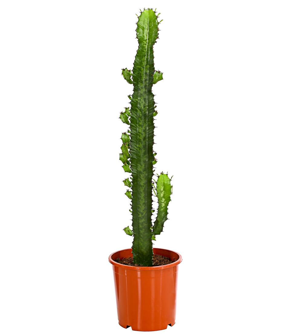 Dehner zimmerpflanze kaktus wolfsmilch s ulenartige - Wolfsmilch zimmerpflanze ...