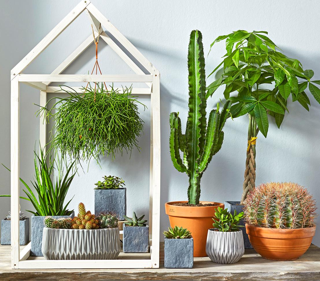 Dehner zimmerpflanze kaktus wolfsmilch s ulenartige triebe versch gr en ebay - Kaktus zimmerpflanze ...