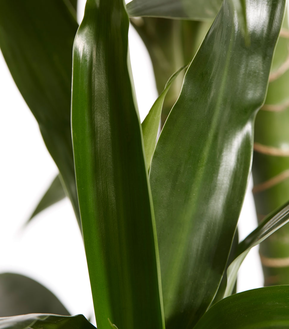 Zimmerpflanze drachenbaum topfpflanze lisa mehrtriebig for Drachenbaum zimmerpflanze