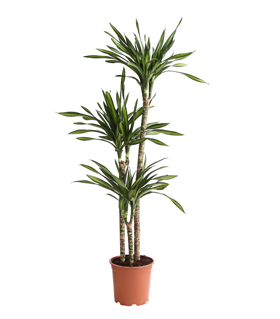 Zimmerpflanze drachenbaum topfpflanze rikki mehrtriebig for Drachenbaum zimmerpflanze