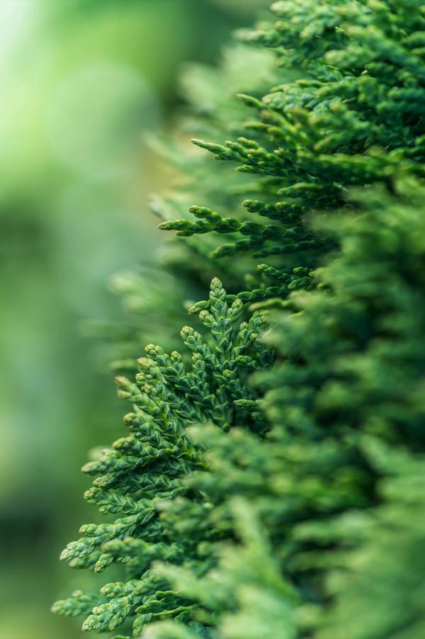 Abendländischer Lebensbaum 'Danica'