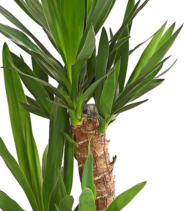 Yucca palme dehner for Zimmer yucca palme bluht