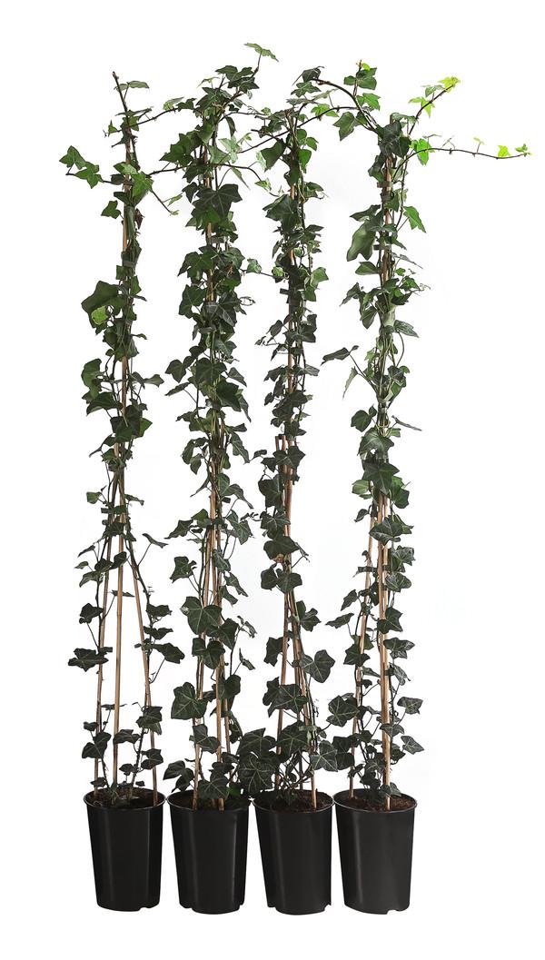1 Meter Großblättriger Efeu 'Hibernica', 4 x ca. 150 cm