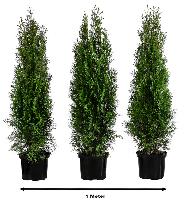 1 Meter Thuja 'Smaragd', 3 x 80 - 100 cm