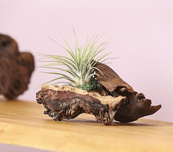 1 Tillandsie auf Mopani-Wurzel