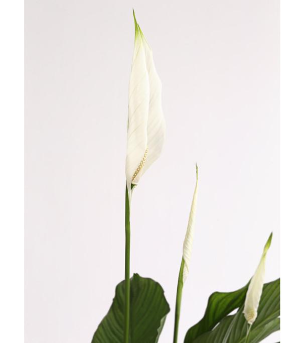 Air So Pure® Einblatt 'Lauretta'