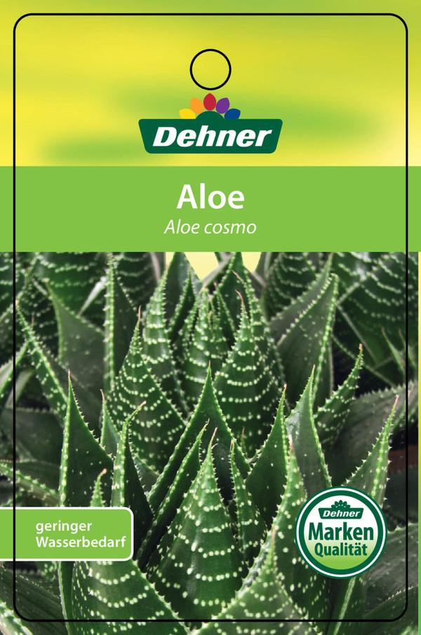 Aloe 'Cosmo'