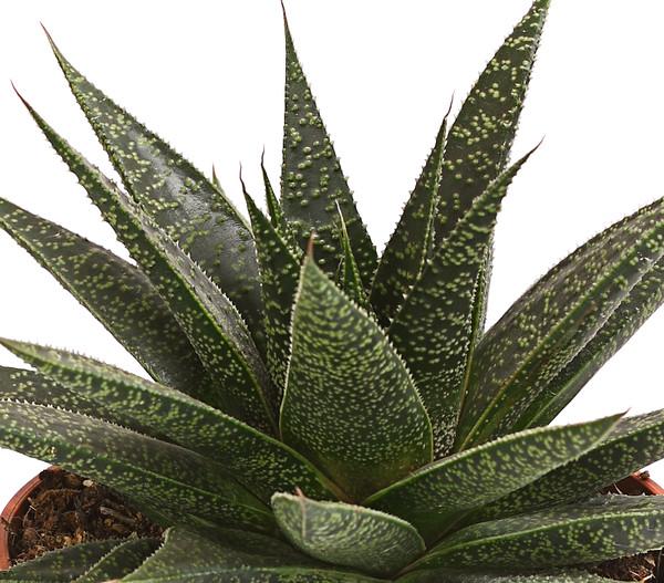 Aloe 'Flow'