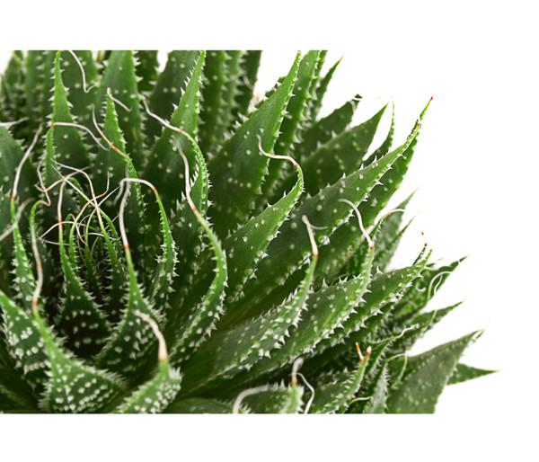 Aloe 'Magic'