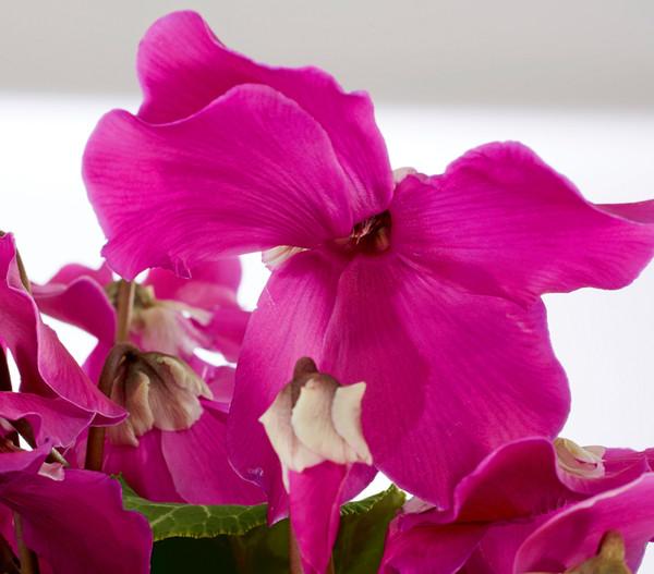 Alpenveilchen 'Fleur en Vogue'
