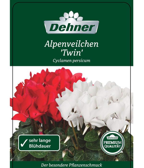 Alpenveilchen 'Twin'
