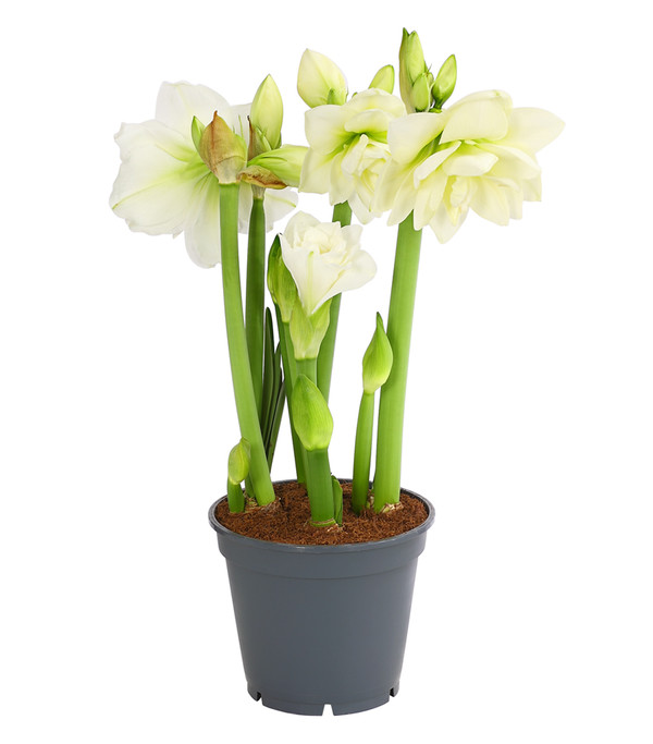 amaryllis 39 multiflower 39 dehner. Black Bedroom Furniture Sets. Home Design Ideas