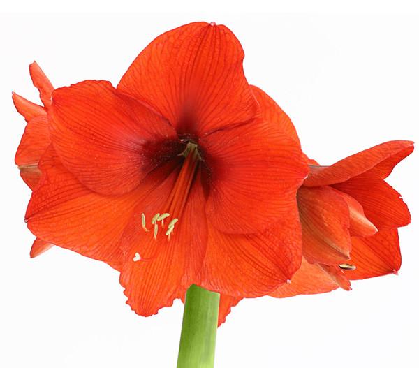 Amaryllis, rot, 1-Trieber