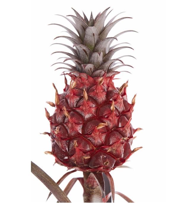 Ananas 'Pacifico'