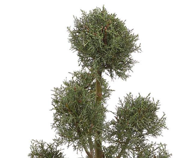 Arizona-Säulen-Zypresse 'Fastigiata', Pompon