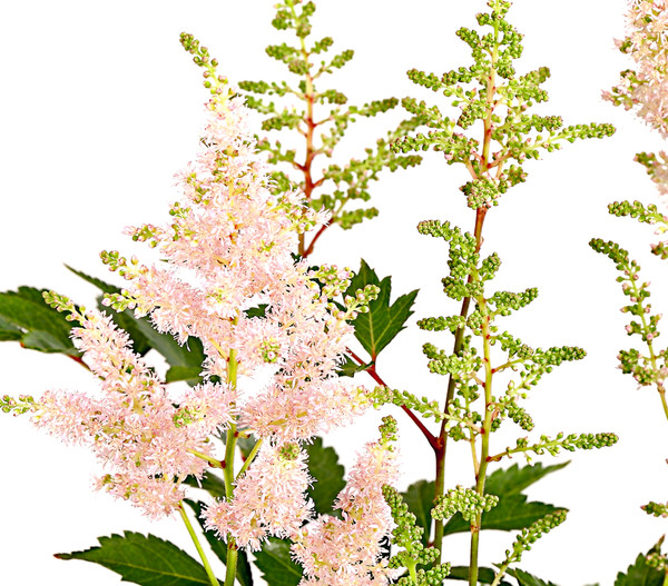 Astilbe - Farbmix