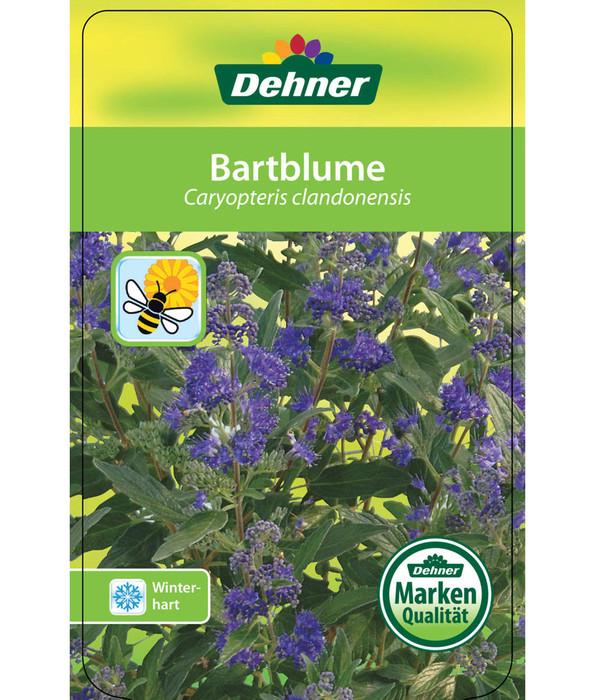 Bartblume
