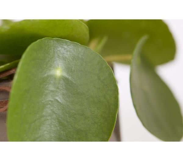 Bauchnabelpflanze, in Keramik