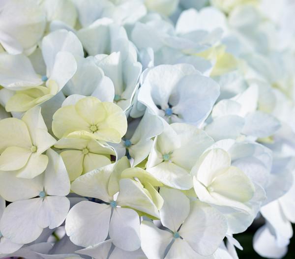 Bauern-Hortensie 'Avantgarde', blau