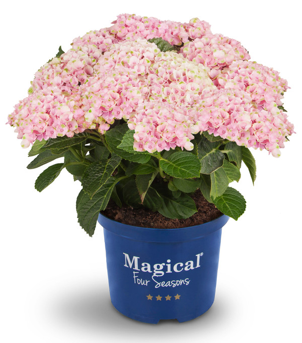 Bauern-Hortensie 'Magical® Four Seasons Revolution'