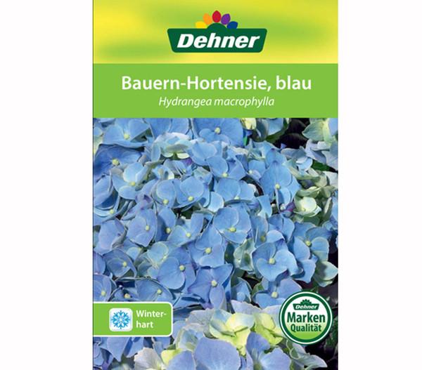 Bauern-Hortensie