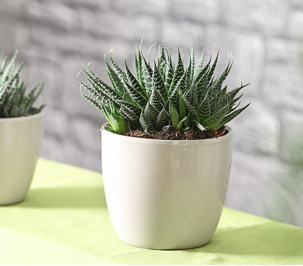 Bebänderte Aloe